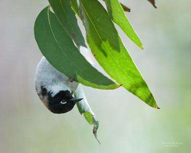 Black-headed Honeyeater (Melithreptus affinis)