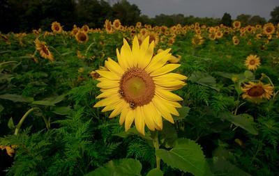 Sunflowers (7/11/19)