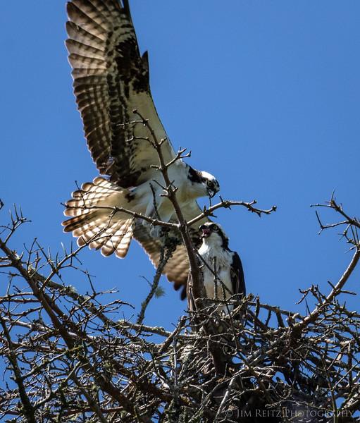 Ospreys in nest - Bainbridge Island, WA.