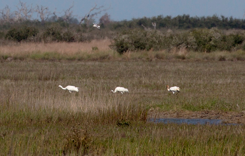 In the far distance: a Whooping Crane family with a juvenile on the right.