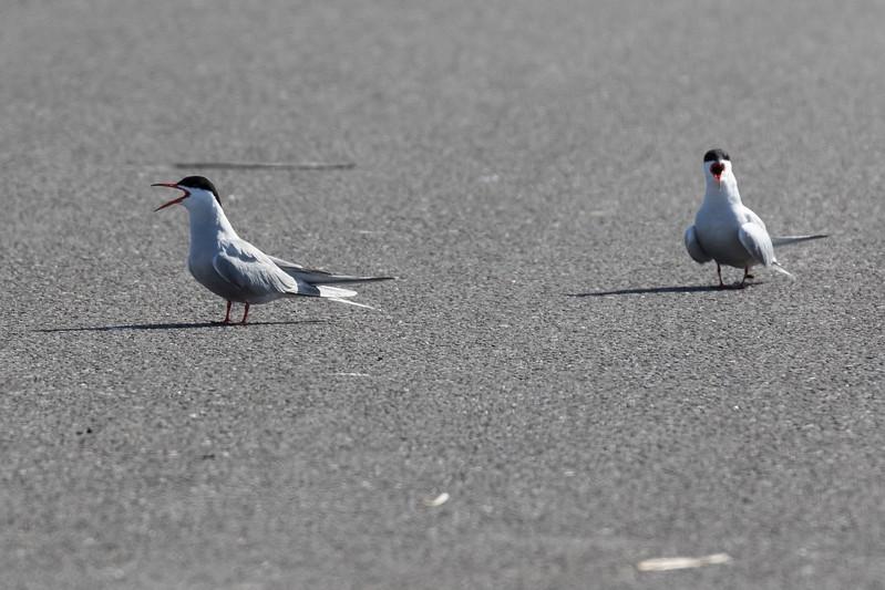 visdiefje, common tern