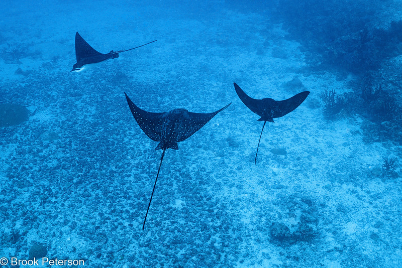 Three Spotted Rays