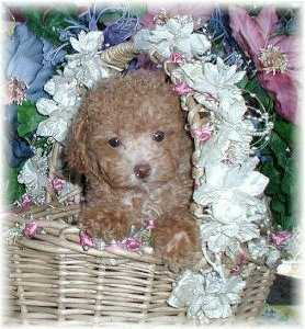 2. MaltiPoo Puppy Photo & Video Gallery Sold Puppies