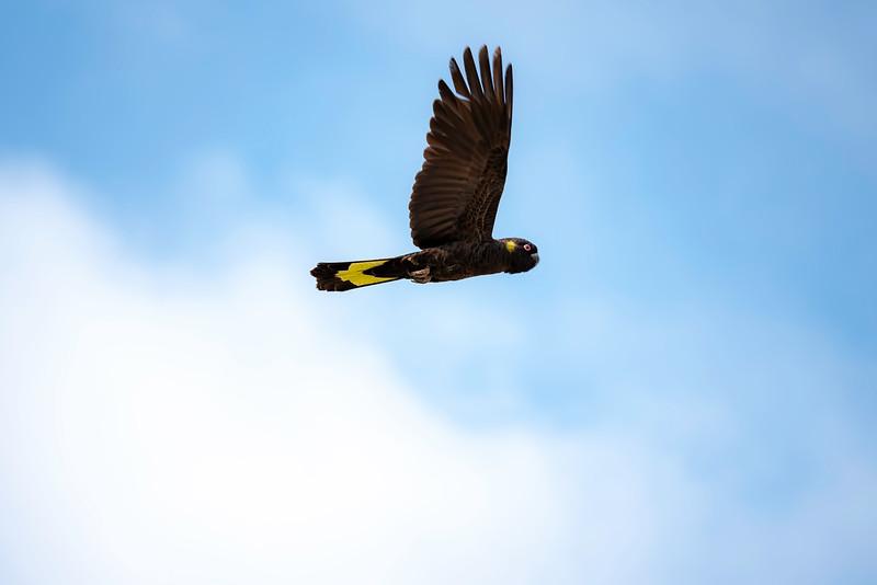 Yellow-tailed-Black-cockatoo-MAR2019-01.jpg