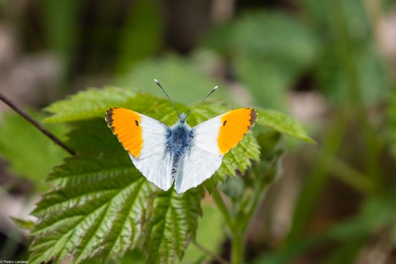 Orange Tip - Male