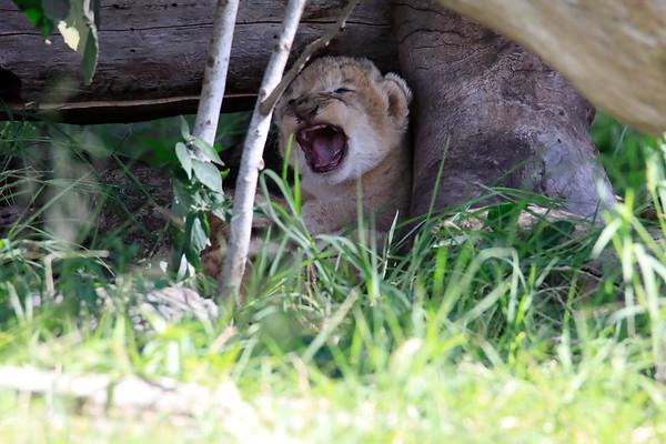 Tiny Lion Cubs Asilia Kenya 2018