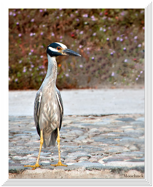 Our Pool Buddy- A Tri-Colored Heron