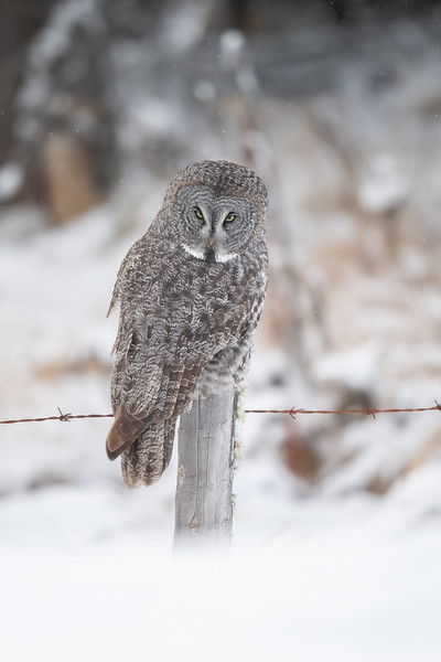 #1345 Great Gray Owl
