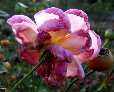 2007 04 29 Roses