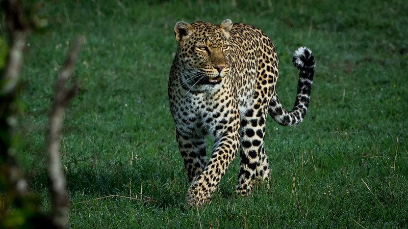 Leopards-0107.jpg