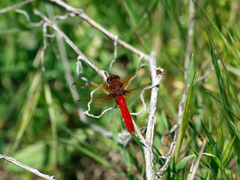Dragonfly, Briones
