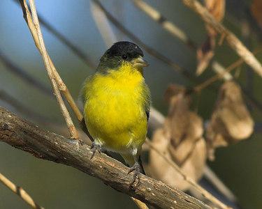 Finches, Pine Siskin