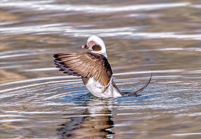 Ducks & Shorebirds