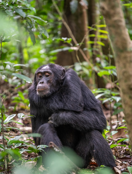Uganda_T_Chimps-52.jpg