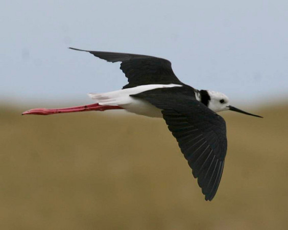 RECURVIROSTRIDAE Stilts and Avocets