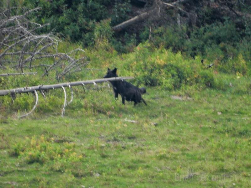 Black Wolf, YNP