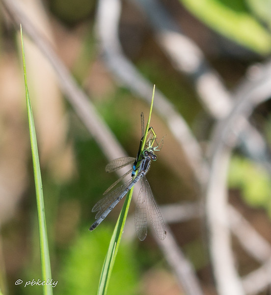 forktail predation 071717-2.jpg