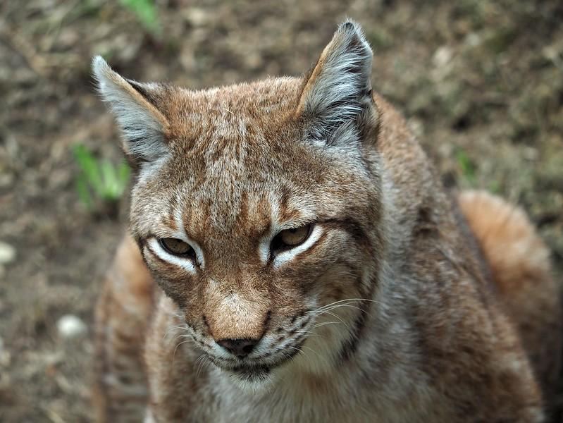 Lynx Spormagiore 10-07-18 (3).jpg
