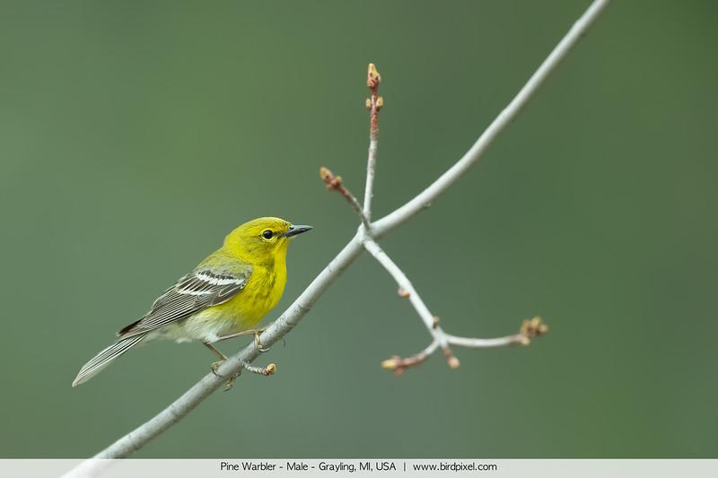 Pine Warbler - Male - Grayling, MI, USA