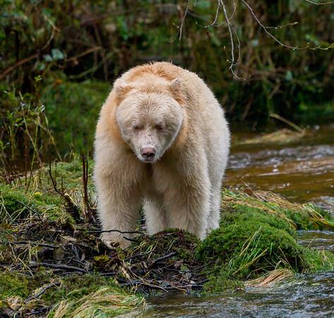 Spirit Bear Images