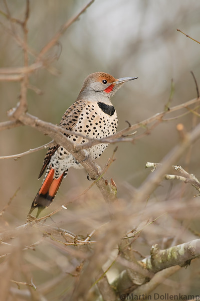 Northern Flickers can be very shy so I use a blind to get closer.