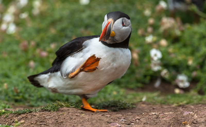 Puffin - more space, just coming out of the nets-hole