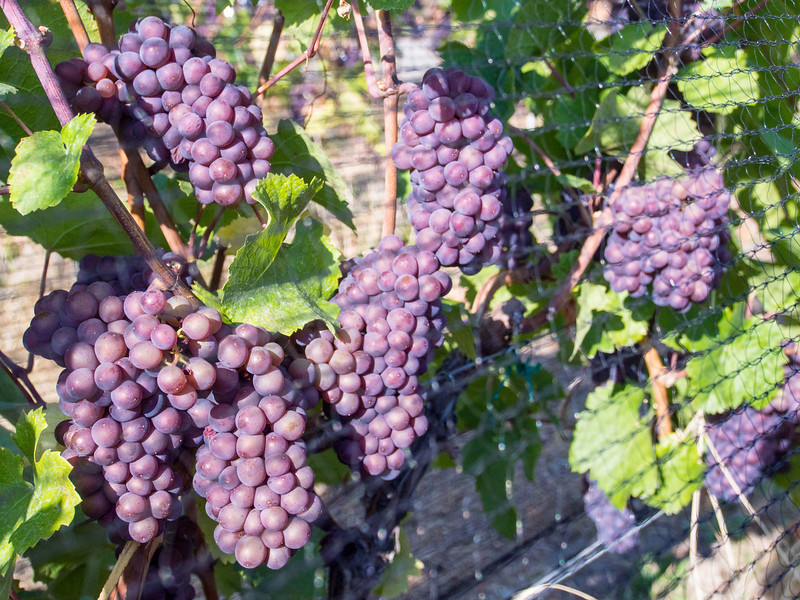 crush pad grapes.jpg