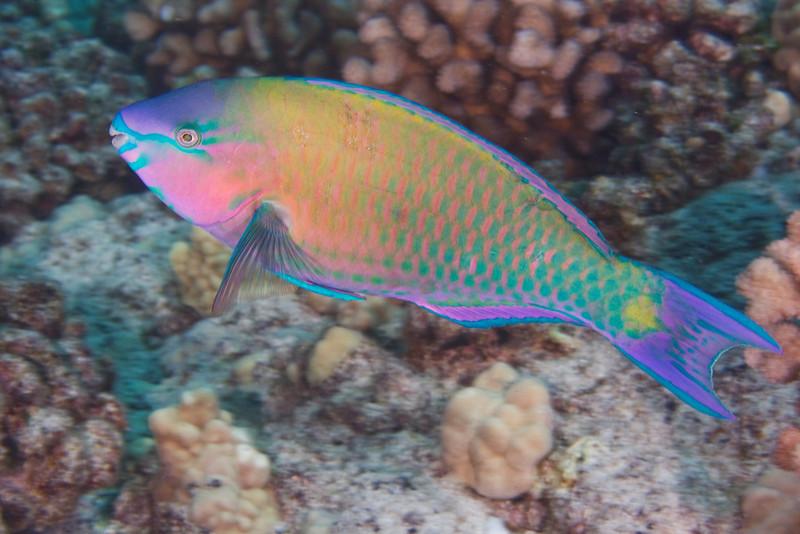 Palenose Parrotfish.jpg