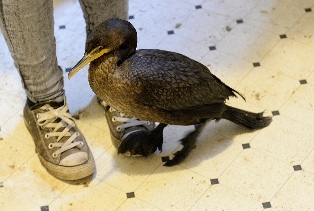 . DENVER, CO - JULY 30:  Wild B.I.R.D. Rehabilitation Center  will be closing it\'s doors, at the 1880 S. Quebec Way location, on September 1, 2014. They have cared for thousands of  sick, injured or abandoned birds.   A cormorant recovering from botulism steps on the shoes of Morgan Sandoval a provisional wildlife rehabilitator  at the center on  Wednesday, July 30, 2014.  They are closing because it is not properly zoned for the organization�s needs. They are fund raising to open at a new location in Wheat Ridge. (Denver Post Photo by Cyrus McCrimmon)