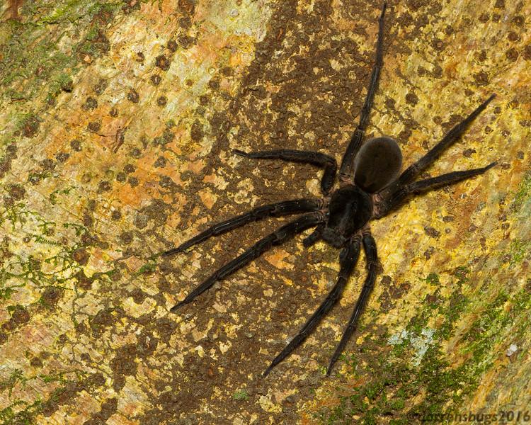 Wandering spider, Ctenidae, from Monteverde, Costa Rica.