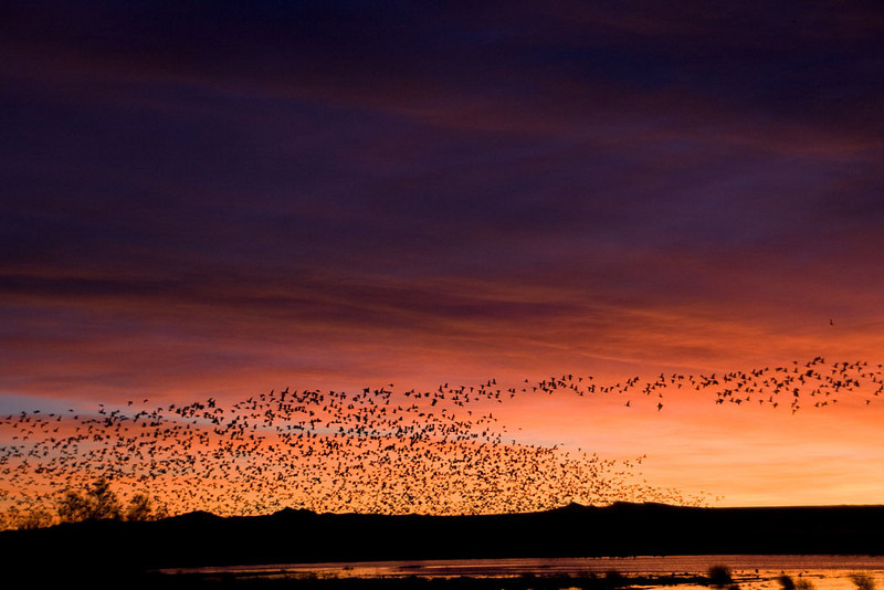Swarms of Snow Geese - taking off
