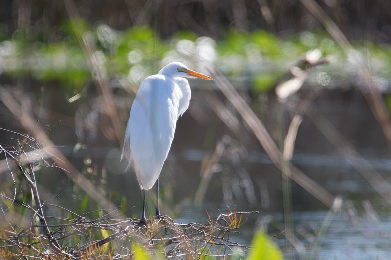Lonely Egret-6345.jpg
