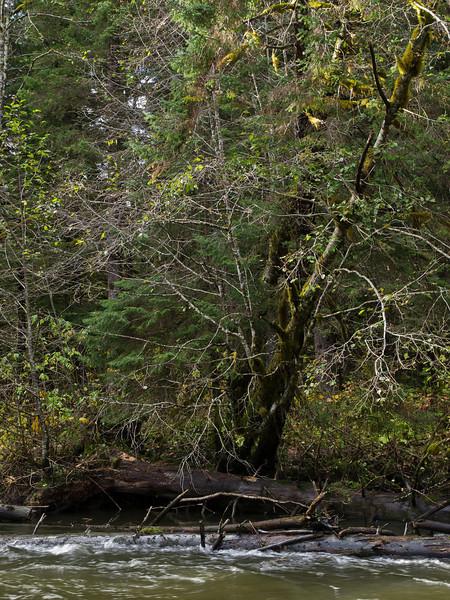 Leaning Tree at Kowee Creek