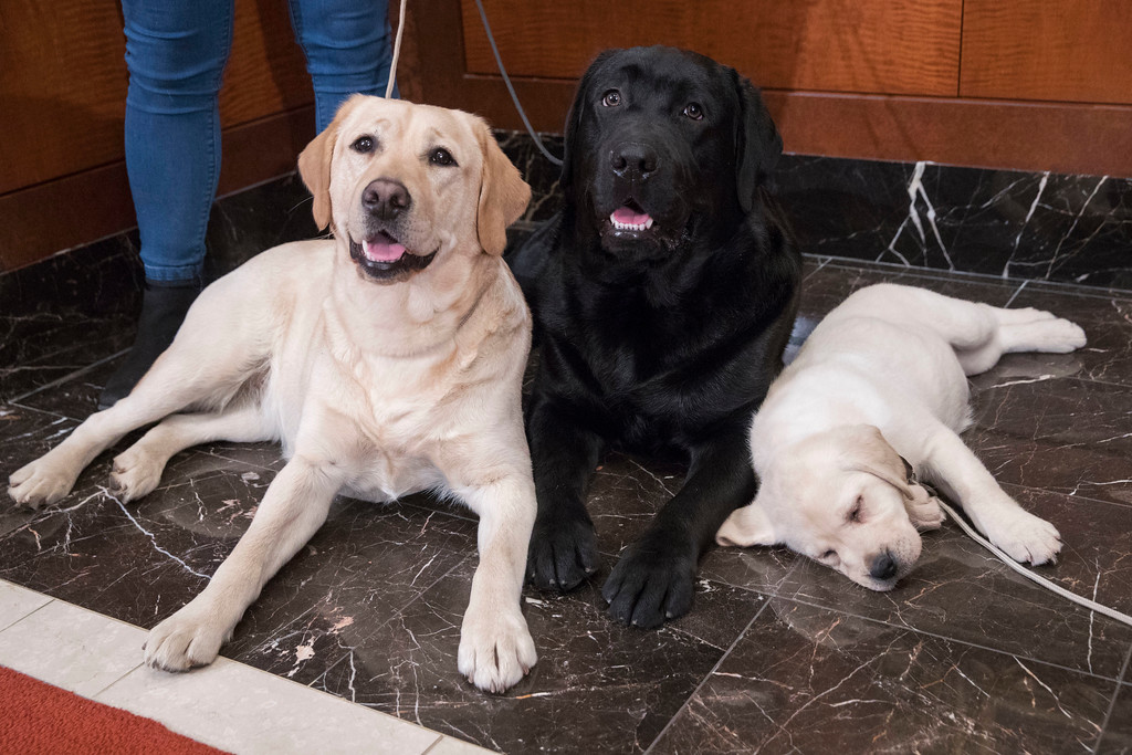 . Labrador retrievers Soave, 2, left, and Hola, 10-month, pose for photographs as Harbor, 8-weeks, takes a nap during a news conference at the American Kennel Club headquarter, Wednesday, March 28, 2018, in New York. American Kennel Club rankings released in 2018 show the labrador is the most popular purebred dog. (AP Photo/Mary Altaffer)