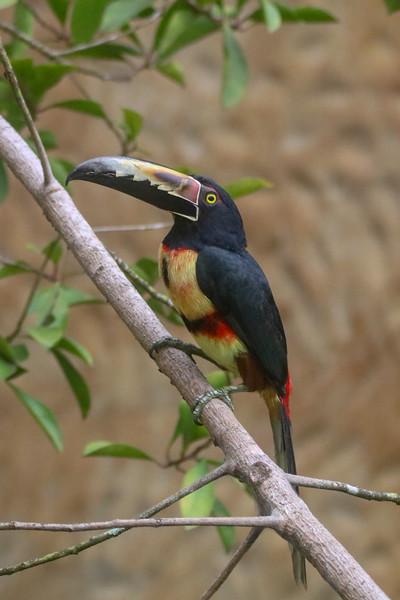 Fierry Billed Aracari Showing its Beak