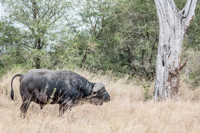 Water buffalo in Kruger National Park