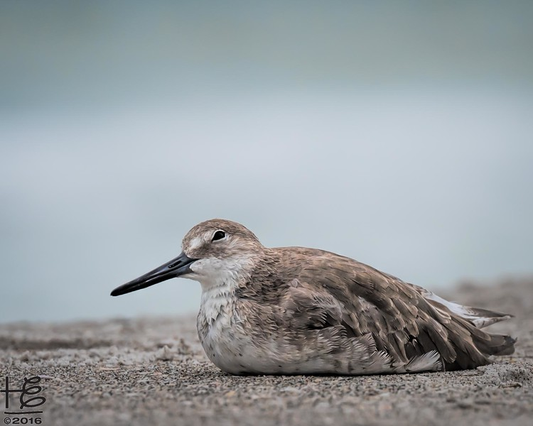Relaxed willet on the beach