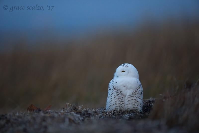 Snowy Owl_O8U3811.jpg