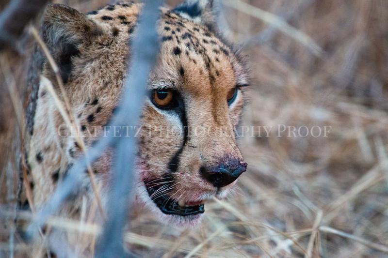 Cheetahbloody.jpg