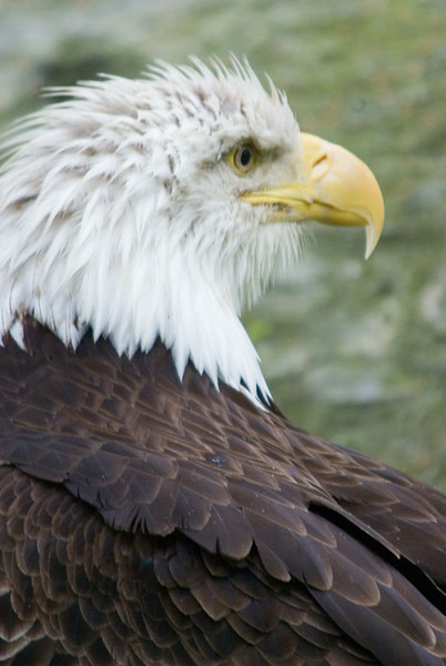 Eagle looking right.jpg