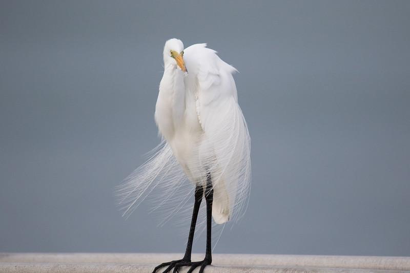 Great Egret St. Pete FL 2020-2.jpg