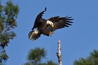The Bald Eagles of Green Creek