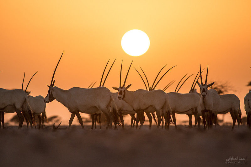 Arabian Oryx (10).jpg