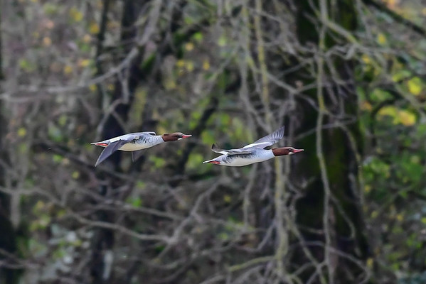 11-17-16 *^Common Mergansers in Flight - HM