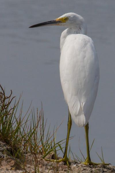 Juvenile Snowy Egret 03