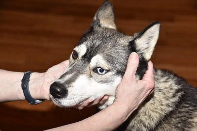 Lost Husky Found Safe and  Sound