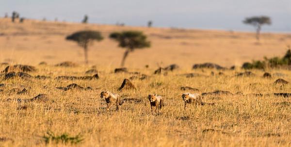Mara, Kenya 2017