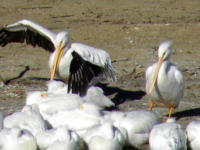 SIGHTING DETAILS OF WHITE PELICANS (Winter - Spring 2018)