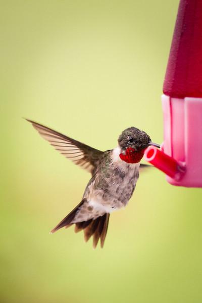 Nova Scotia 2013 - Hummingbirds
