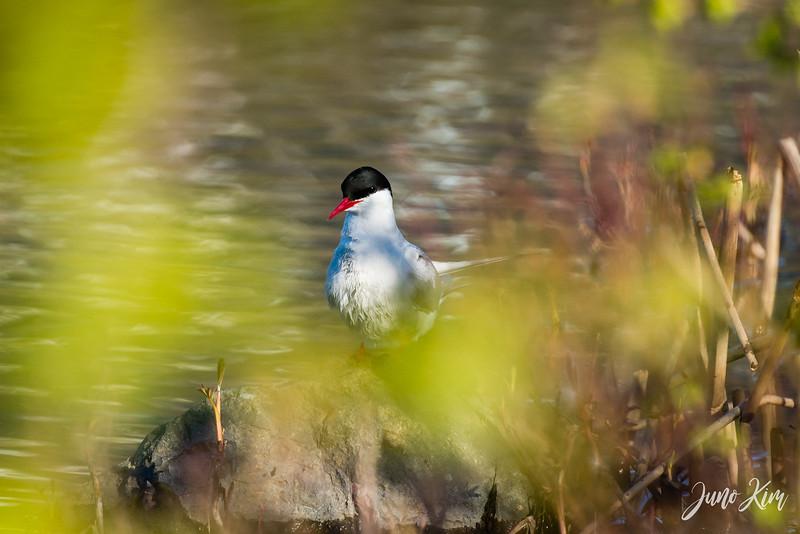 2020-05-12_Potter Marsh bird-_6109581-Juno Kim.jpg